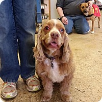 Cocker Spaniel Dog for adoption in Brookeville, Maryland - Larry