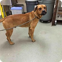 Rhodesian Ridgeback Mix Dog for adoption in Carlsbad, California - BIG RED