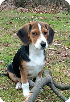 Beagle Mix Puppy for adoption in New Oxford, Pennsylvania - Gabe