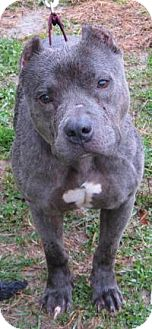 American Staffordshire Terrier Mix Dog for adoption in Mineral, Virginia - Donner, D52