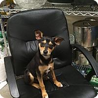 Adopt A Pet :: Ricky - Renton, WA