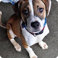 Adopt A Pet :: Sugar Ray - Fairfax Station, VA