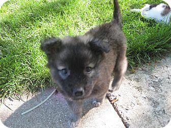 Sammy | Adopted Puppy | Hainesville, IL | Collie/Keeshond Mix
