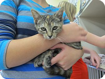 Domestic Shorthair Kitten for adoption in Riverhead, New York - Suzuki