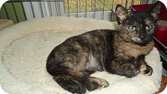 Domestic Shorthair Kitten for adoption in Riverside, Rhode Island - Barbie