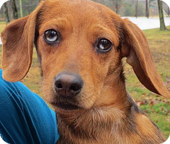 Dachshund/Terrier (Unknown Type, Small) Mix Puppy for adoption in Washington, D.C. - Paisley