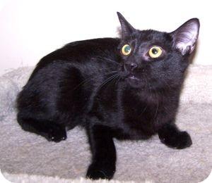 Domestic Shorthair Cat for adoption in Colorado Springs, Colorado - K-Doe2-Capri