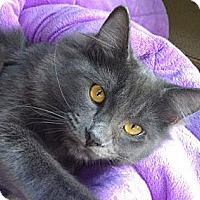 Domestic Mediumhair Cat for adoption in Mountain View, California - Little Wolfie