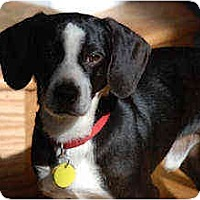 Adopt A Pet :: Hoover - Novi, MI