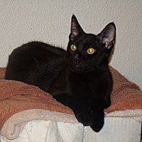 Domestic Shorthair Cat for adoption in Scottsdale, Arizona - Miss Holly-edob 4/24/12