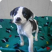 Adopt A Pet :: Oreo IN CT - East Hartford, CT