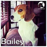 Adopt A Pet :: Bailey - Novi, MI