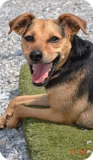 Terrier (Unknown Type, Medium)/Beagle Mix Dog for adoption in Guelph, Ontario - Henry Hyatt COURTESY POST