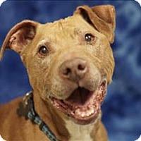 Adopt A Pet :: Pete - Portland, OR