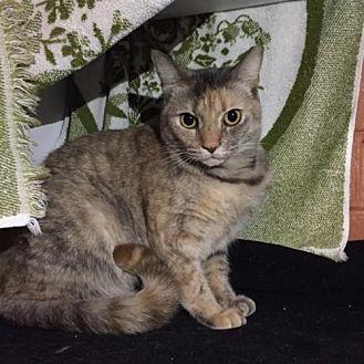 Domestic Mediumhair Cat for adoption in Atlanta, Georgia - Zest