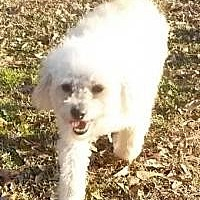 Poodle (Miniature) Mix Dog for adoption in Alpharetta, Georgia - Coby