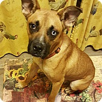Adopt A Pet :: Cool Cobain - Harrisonburg, VA