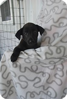 Labrador Retriever Mix Puppy for adoption in Saddle Brook, New Jersey - Shadow