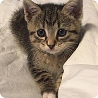 Adopt A Pet :: Storm the Kitten - Miami, FL