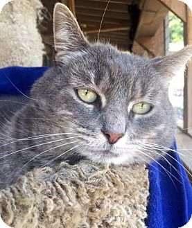 Domestic Shorthair Cat for adoption in Bloomsburg, Pennsylvania - Brooklynne