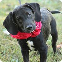 Adopt A Pet :: Dolly - Brattleboro, VT