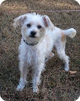 Silky Terrier Mix Dog for adoption in Towson, Maryland - Marty