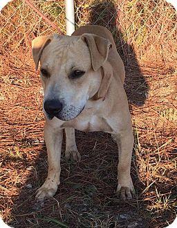 Labrador Retriever Mix Dog for adoption in Arlington, Massachusetts - Zeus