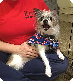 Terrier (Unknown Type, Small)/Wirehaired Fox Terrier Mix Dog for adoption in Chicago, Illinois - Paris