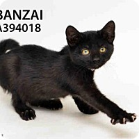 Domestic Mediumhair Kitten for adoption in San Francisco, California - BANZAI