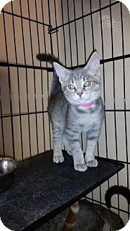 Domestic Mediumhair Kitten for adoption in Cumming, Georgia - Twix