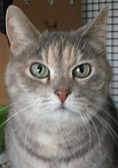 Domestic Shorthair Cat for adoption in Colfax, Iowa - Wendy