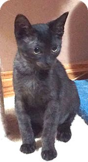 Domestic Shorthair Kitten for adoption in Cleveland, Ohio - Adrienne