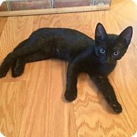 Domestic Shorthair Kitten for adoption in Carlisle, Pennsylvania - Inka
