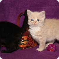 Domestic Mediumhair Kitten for adoption in Orland Park, Illinois - Huck Finn & Tom Sawyer (Bonded