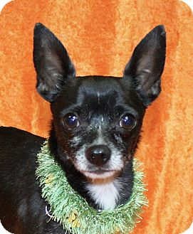 Chihuahua Mix Dog for adoption in Jackson, Michigan - Chico