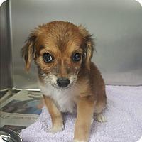 Adopt A Pet :: Bambi - Brownsville, TX