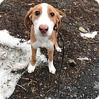 Adopt A Pet :: Seirra - Poughkeepsie, NY