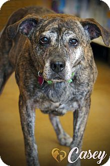 Boxer Mix Dog for adoption in Newport, Kentucky - Casey
