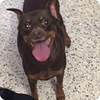 Adopt A Pet :: Duchess - St. Louis, MO