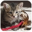 Photo 1 - Domestic Shorthair Kitten for adoption in La Jolla, California - Bacardi