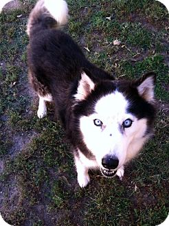 Husky/Border Collie Mix Dog for adoption in Fort Riley, Kansas - Lightning