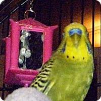 Adopt A Pet :: Leopold - Shawnee Mission, KS