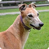 Adopt A Pet :: Katie (Herk's Hurricane) - Chagrin Falls, OH