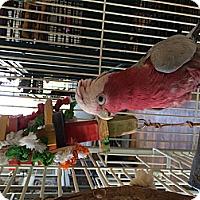 Adopt A Pet :: Keeli - Punta Gorda, FL