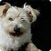 Adopt A Pet :: Peach - adoption pending - Norwalk, CT
