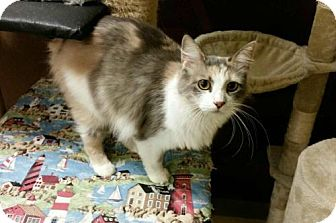 Domestic Longhair Cat for adoption in Green Cove Springs, Florida - Fain