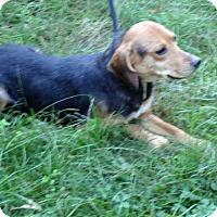 Adopt A Pet :: Carrie - Dumfries, VA