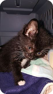 Domestic Shorthair Kitten for adoption in Albemarle, North Carolina - John Tyler