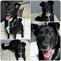 Adopt A Pet :: Diesel - Forked River, NJ