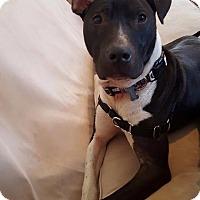 Adopt A Pet :: Maddux - Pittsburgh, PA